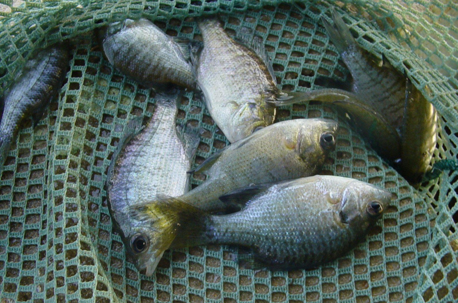 Sport fish and lake stocking tank hollow fisheries for Bluegill fish tank